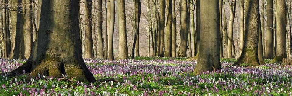Wald im Frühjahr, noch ist der Boden unter den hohen Baumstömmen nicht von Laubdach beschattet und es wachsen dort jetzt lila blühende Lärchensporne.