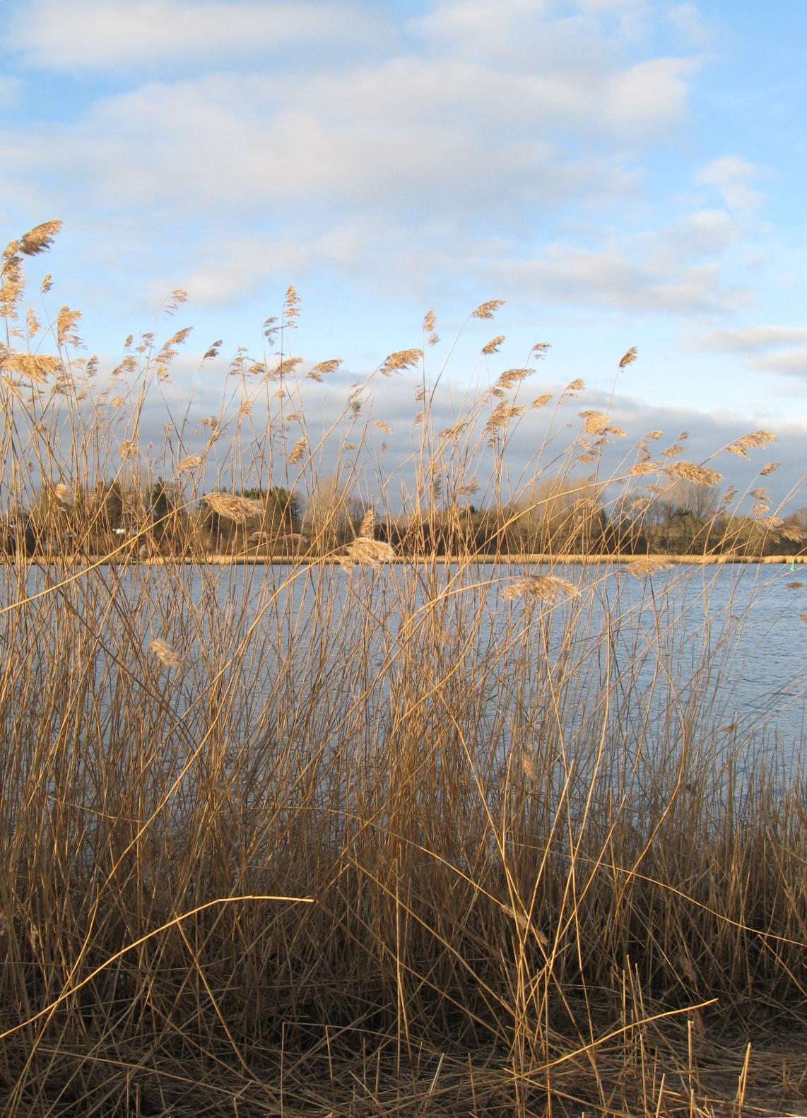 Ein paar spärliche hellbraun-gelbliche Schilfhalme vor blauer Wasserfläche, dahinter ist das andere Ufer zu sehen.